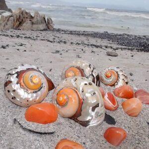 Alikreukel polished shells
