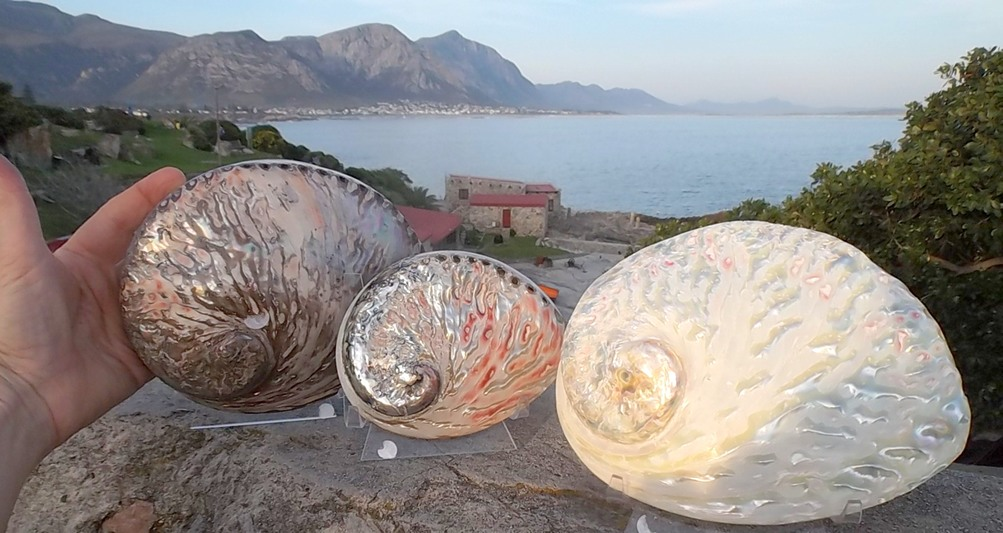 m_Three Perlemoen shells