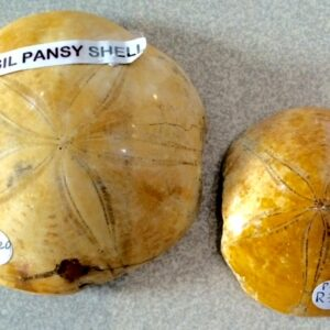 Fossil pansy shells